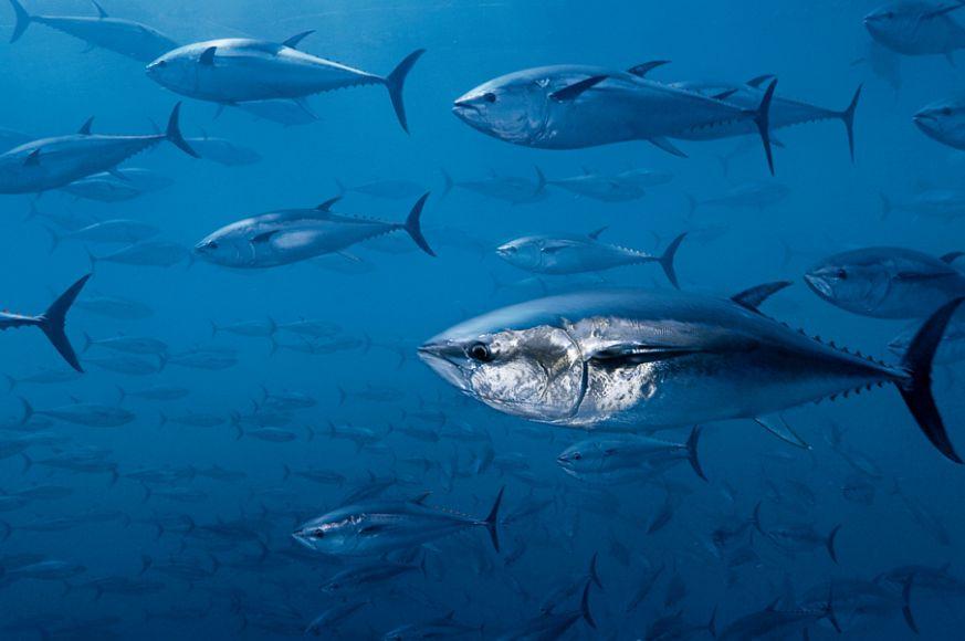 2Австралийский тунец