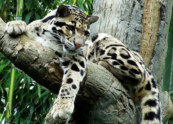 223Дымчатый леопард