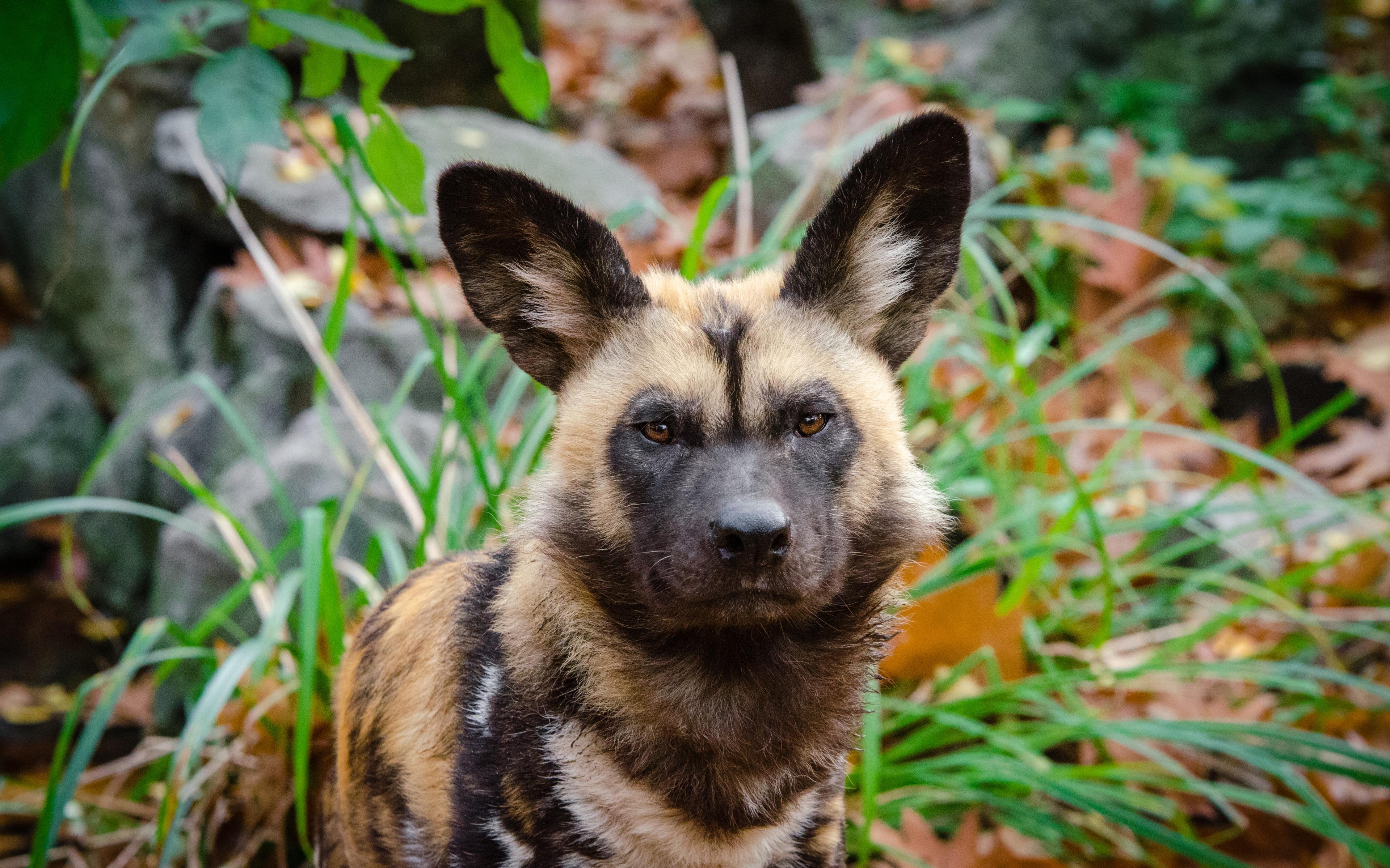 Африканская дикая собака2222222222