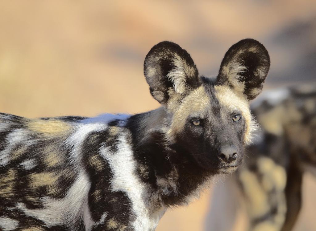 Африканская дикая собака452