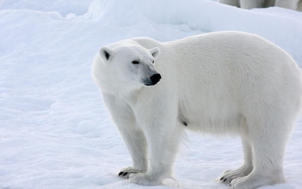 Белый медведь11111111