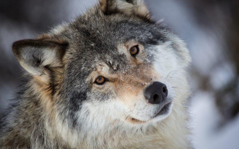 Волк5437789