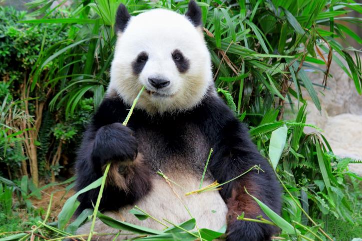 Гигантская панда1111