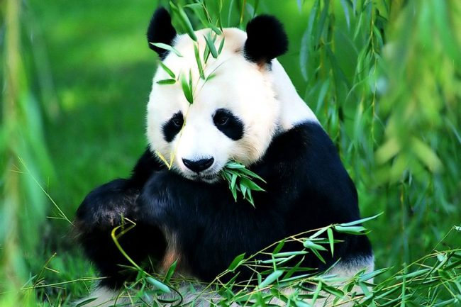 Гигантская панда222