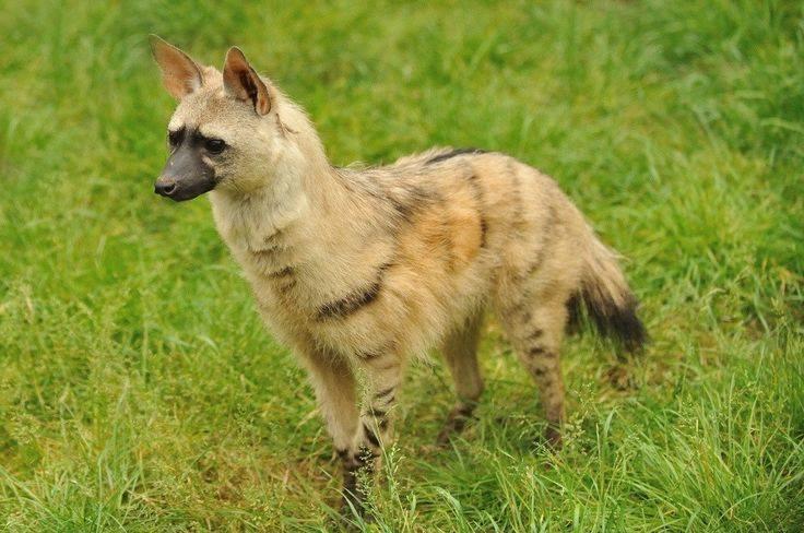 Земляной волк111111111
