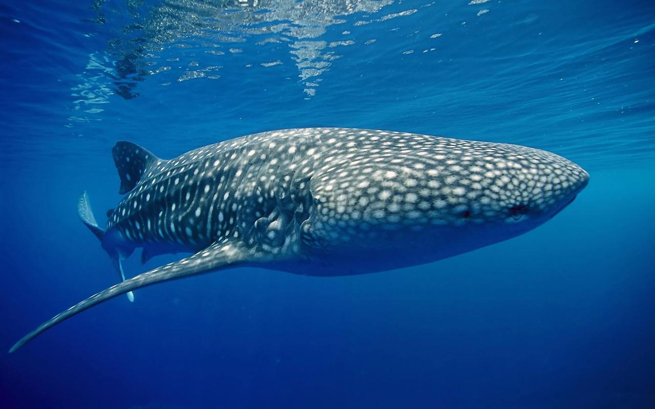 Китовая акула2455