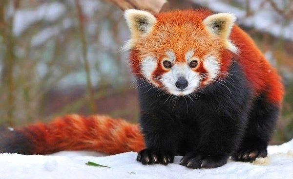 Красная панда11111