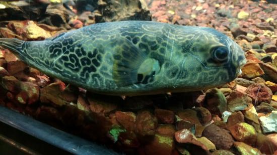 Рыба фугу346527