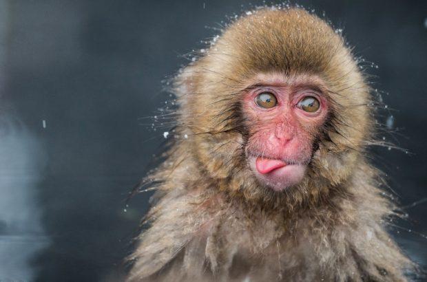 Снежная обезьяна3554