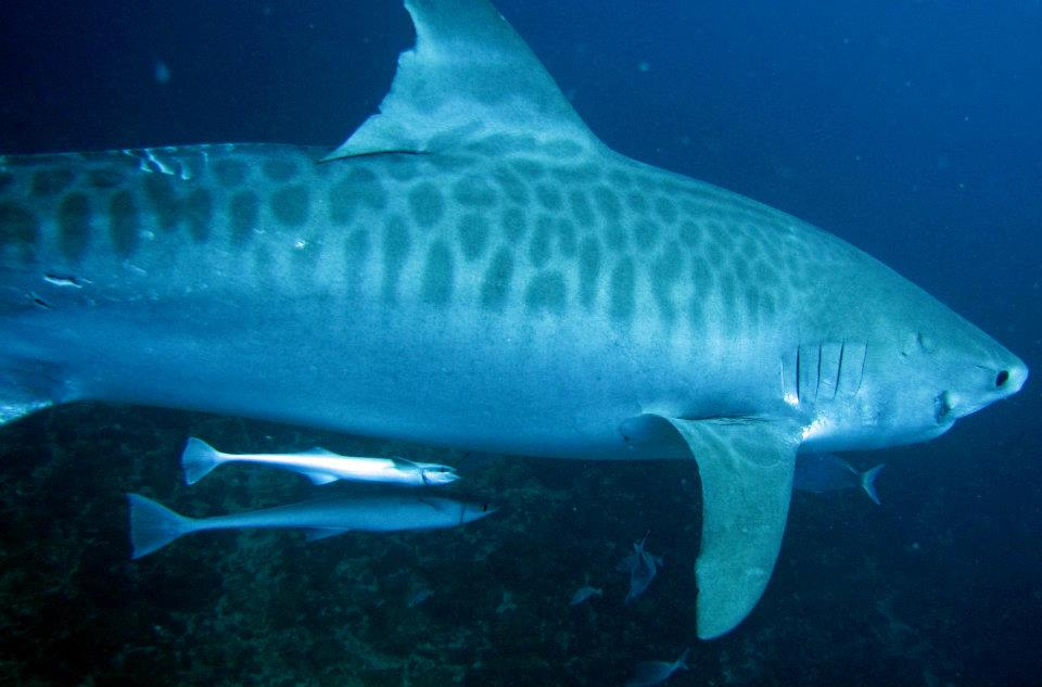 Тигровая акула111111111