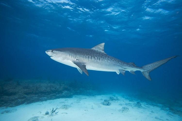 Тигровая акула222222