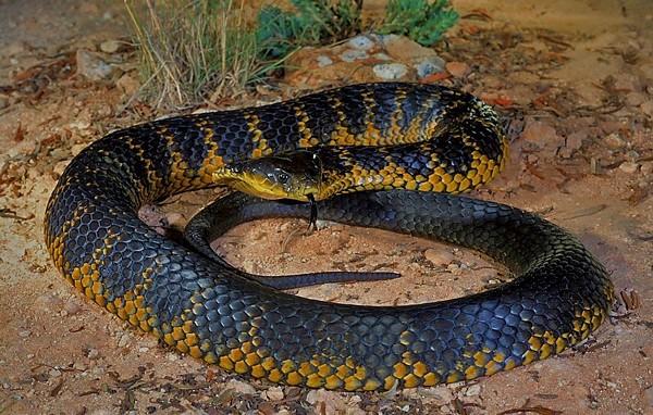 Тигровая змея111