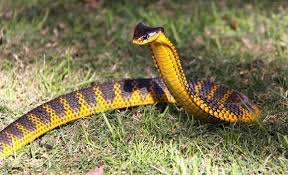 Тигровая змея222