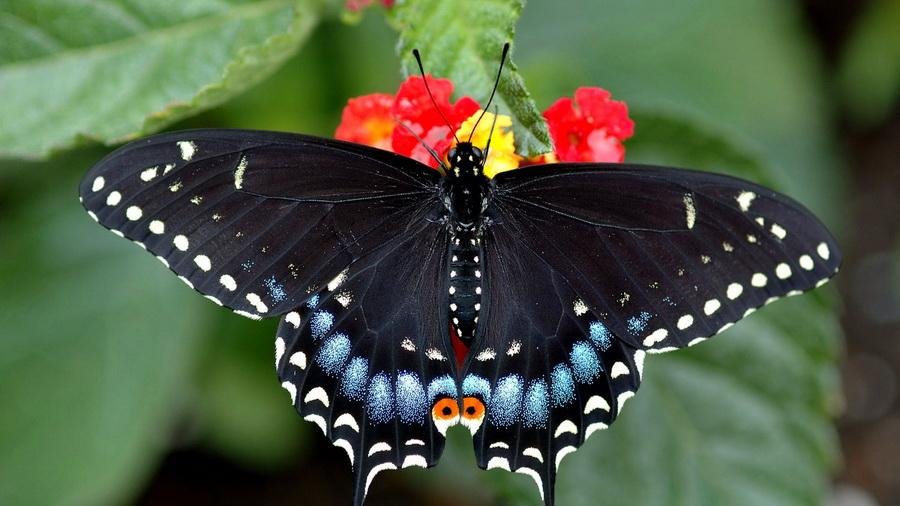 ласточкин хвост бабочка111