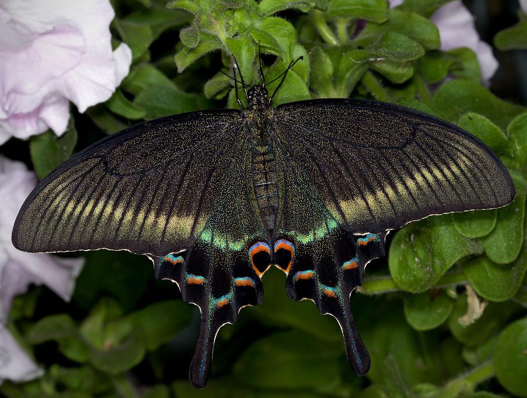 ласточкин хвост бабочка222
