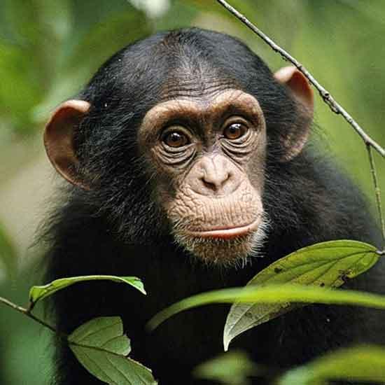 1Шимпанзе1