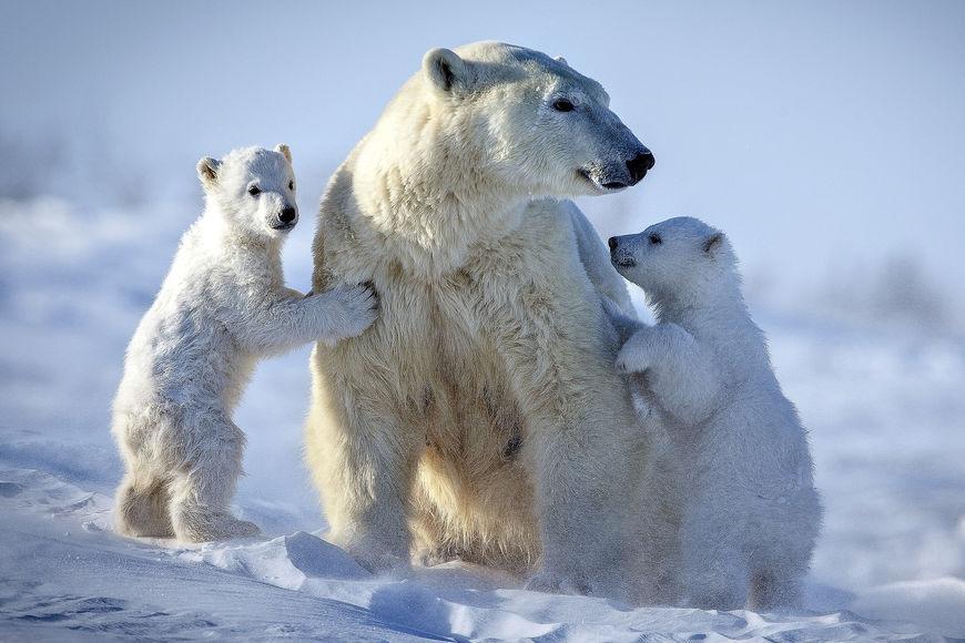53Белый медведь122222222222