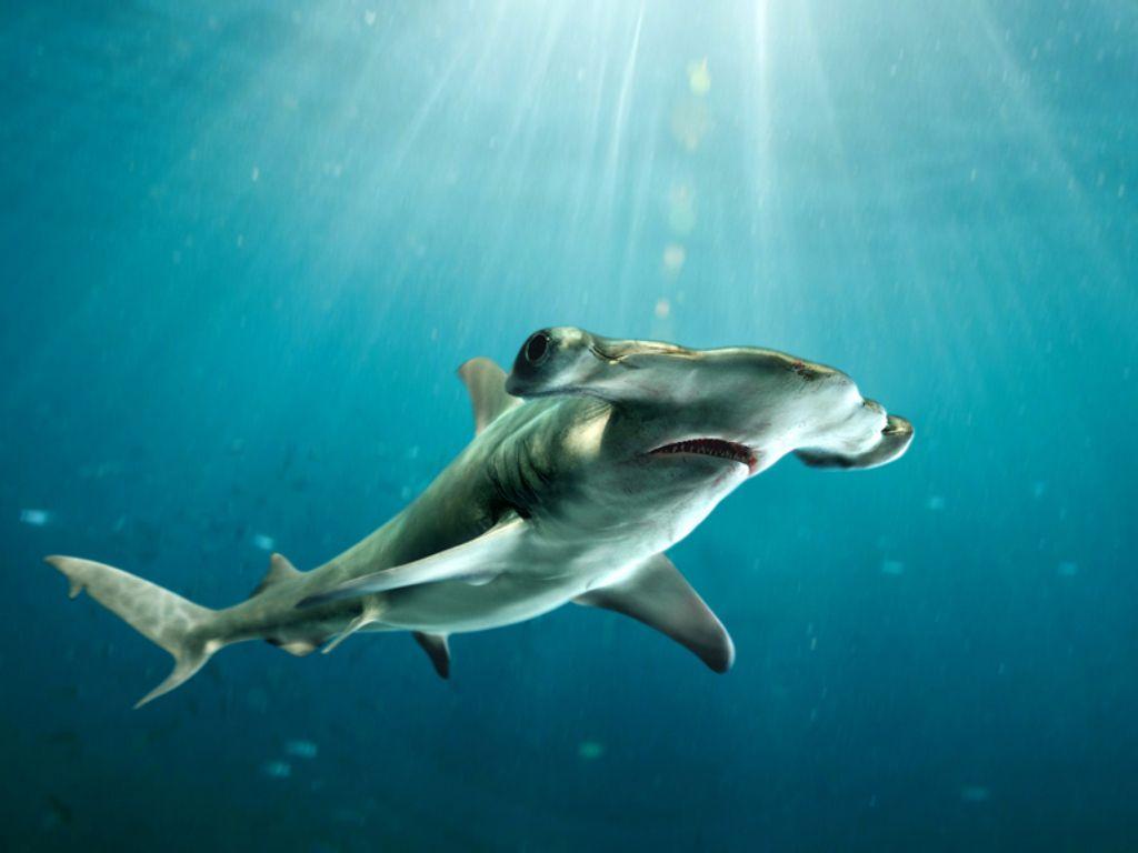 Акула-молот11