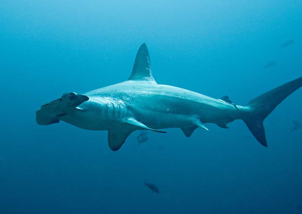 Акула-молот22