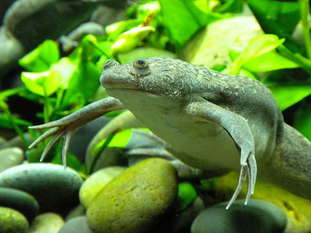 Африканская когтистая лягушка22