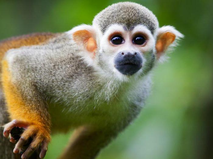 Беличья обезьяна325