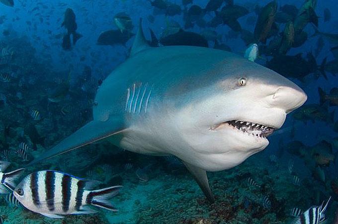 Бычья акула11111