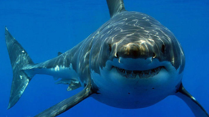 Бычья акула2453