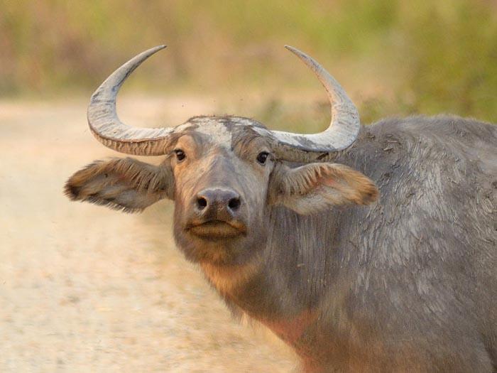 Водный буйвол436