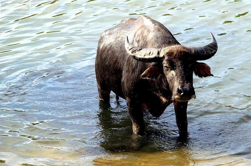 Водный буйвол735654