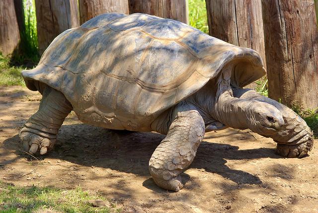 Галапагосская черепаха134