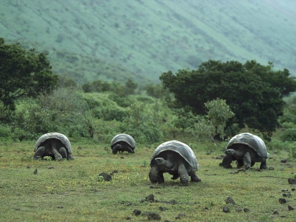 Галапагосская черепаха22222