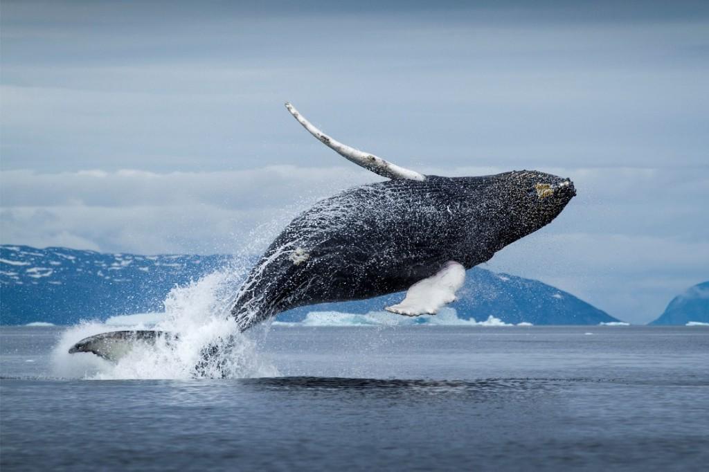 Гренландский кит676