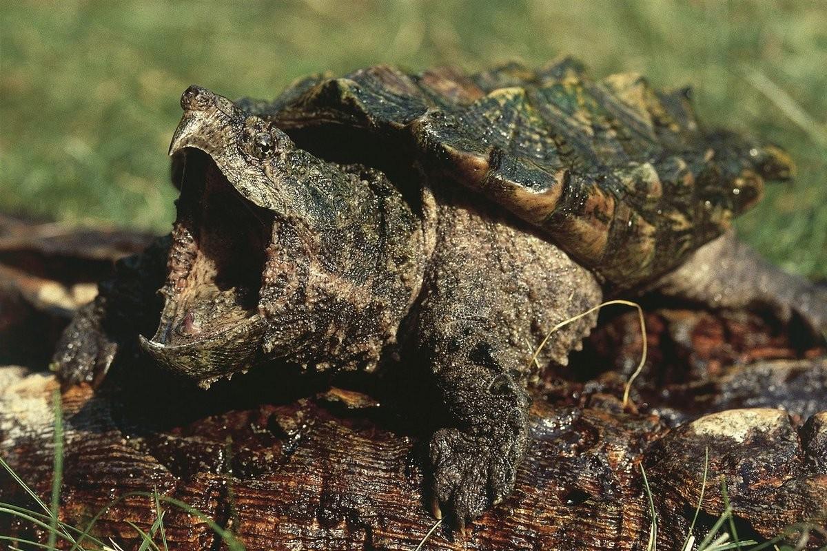 Грифовая черепаха2
