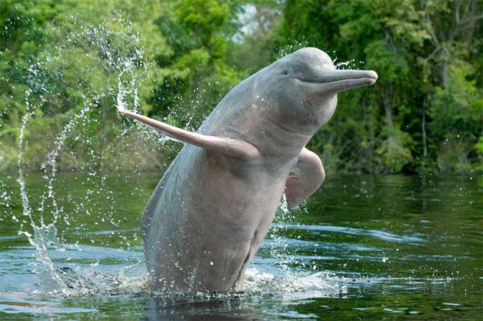 Дельфин реки Амазонки22