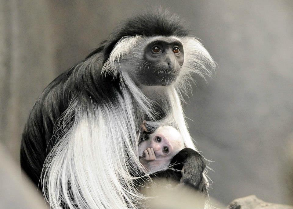 Длинношерстая обезьяна11