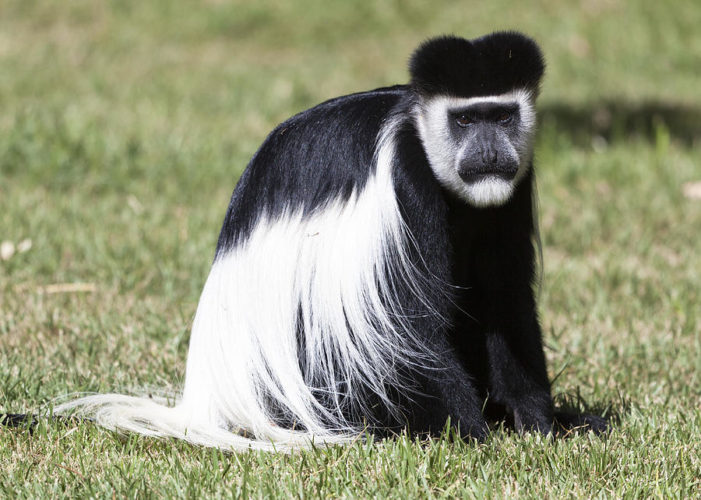 Длинношерстая обезьяна