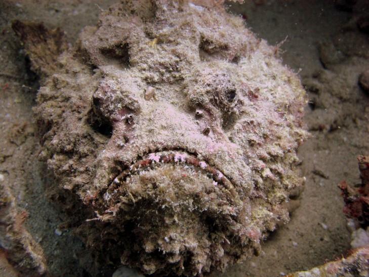 Каменная рыба22