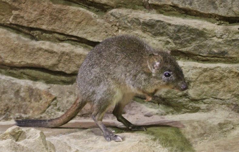 Кенгуровая крыса