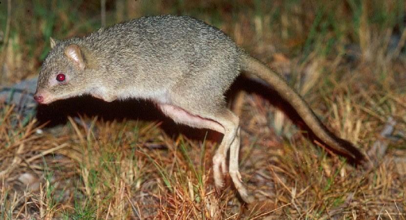 Кенгуровая крыса 222