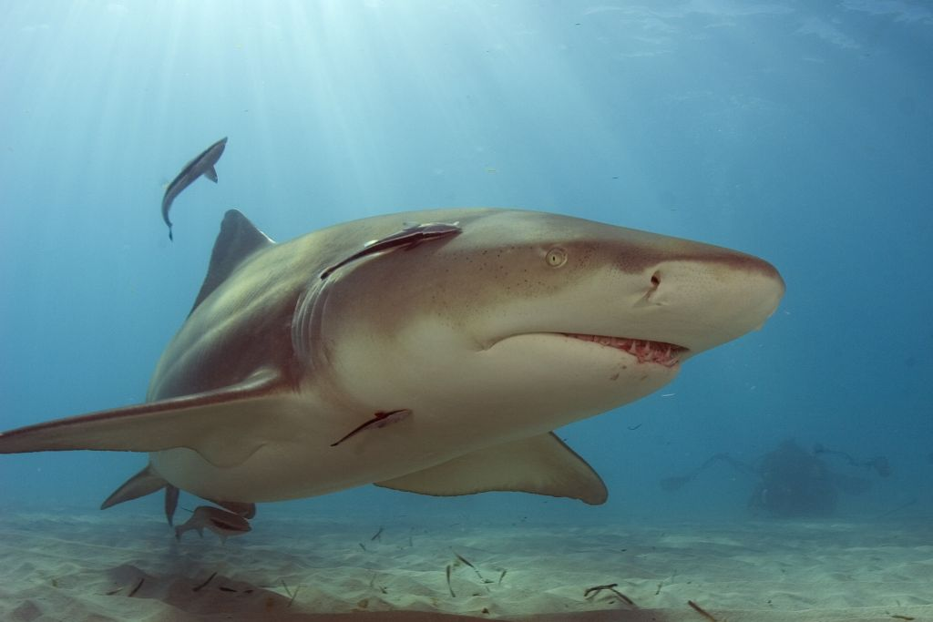 Лимонная акула 12