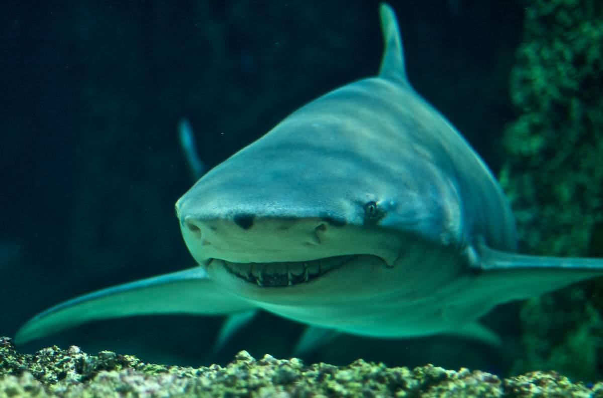 Лимонная акула 324