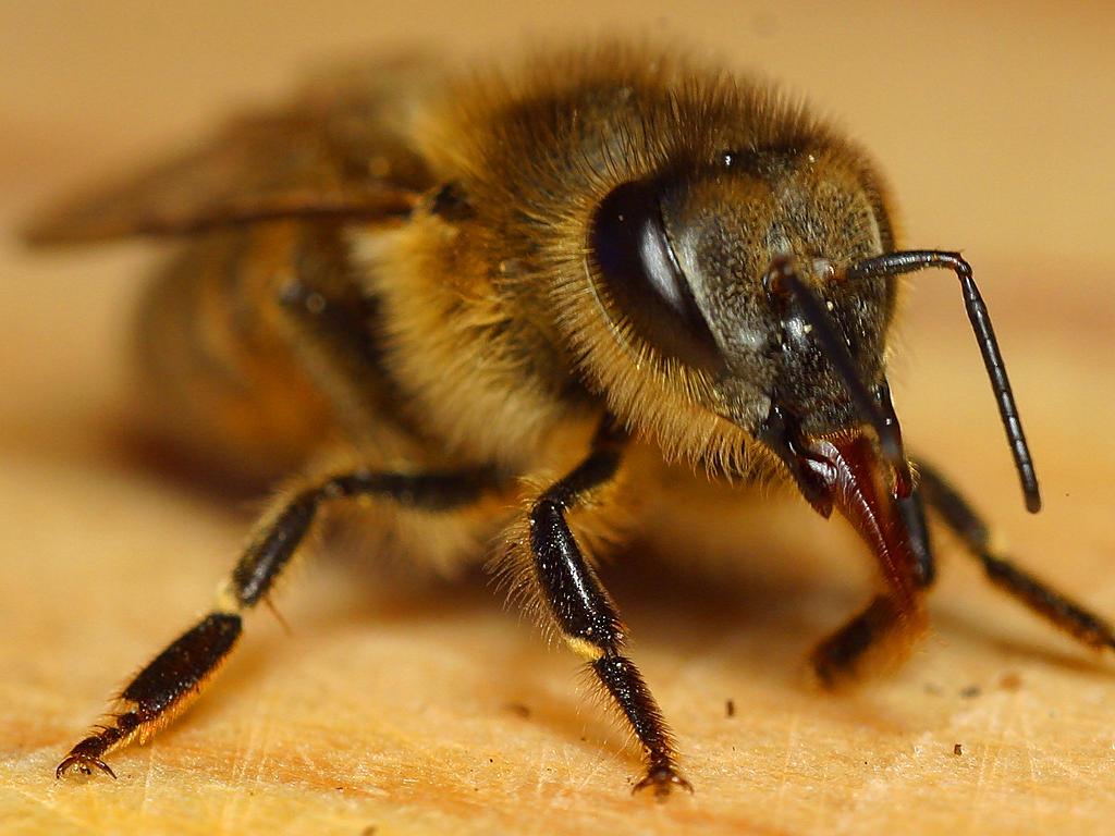 Медоносная пчела 11