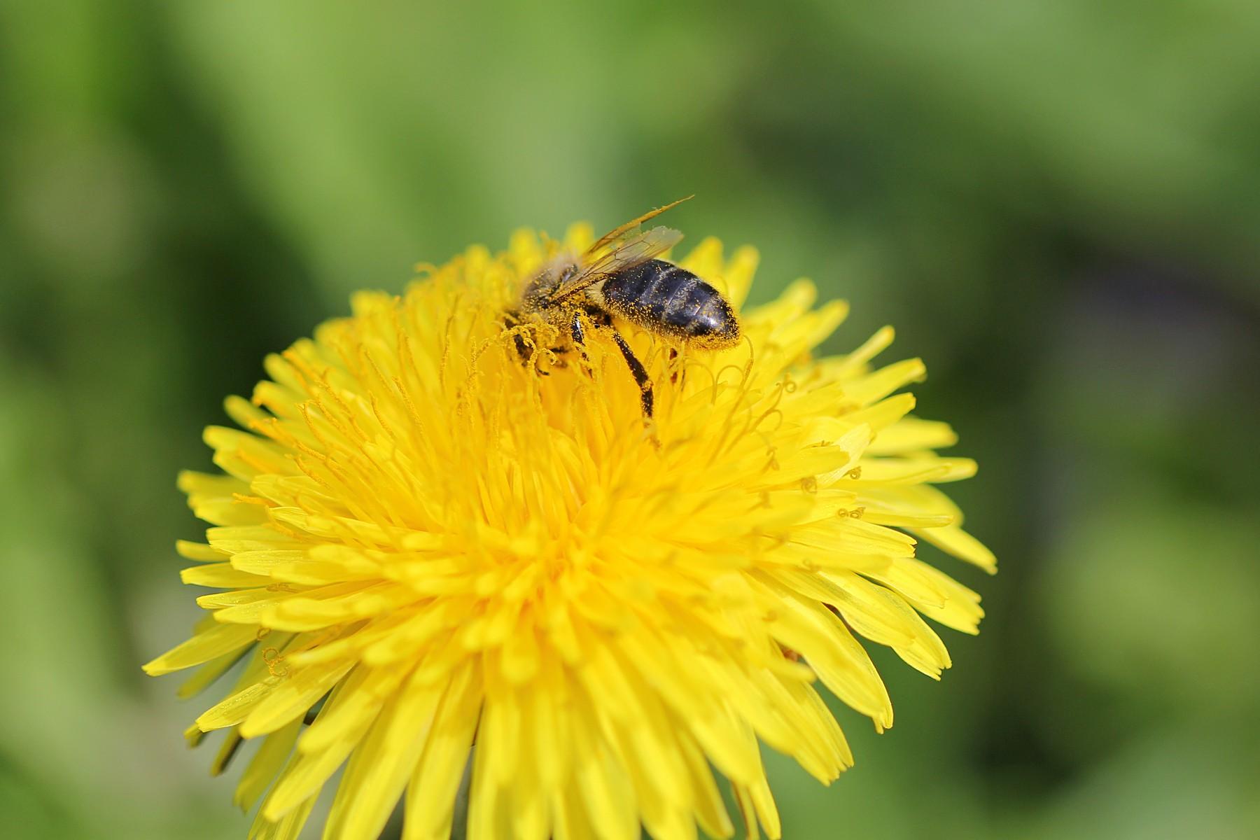 Медоносная-пчела-22