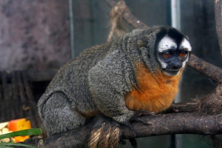 Ночная обезьяна