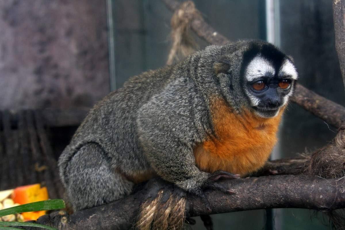 Ночная обезьяна214