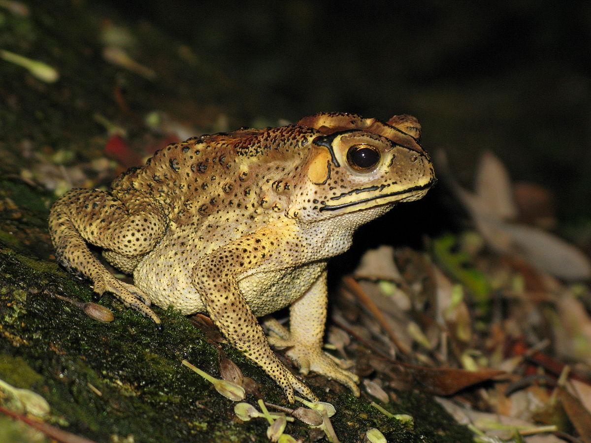 Обычная жаба11