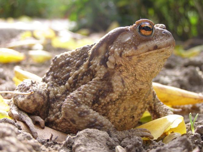 Обычная жаба