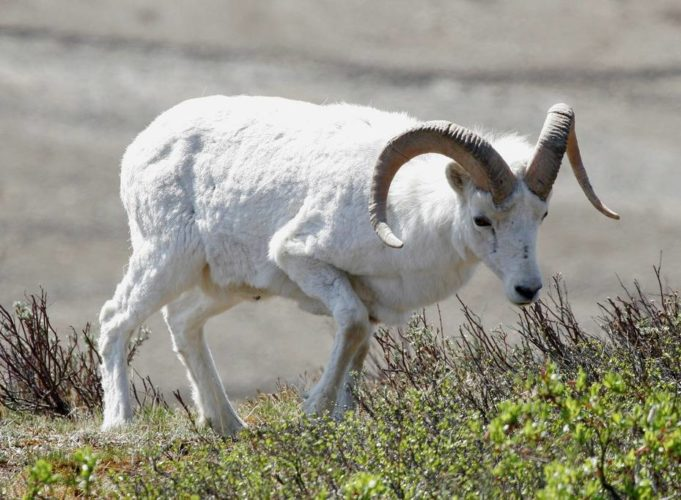 Овца Далла