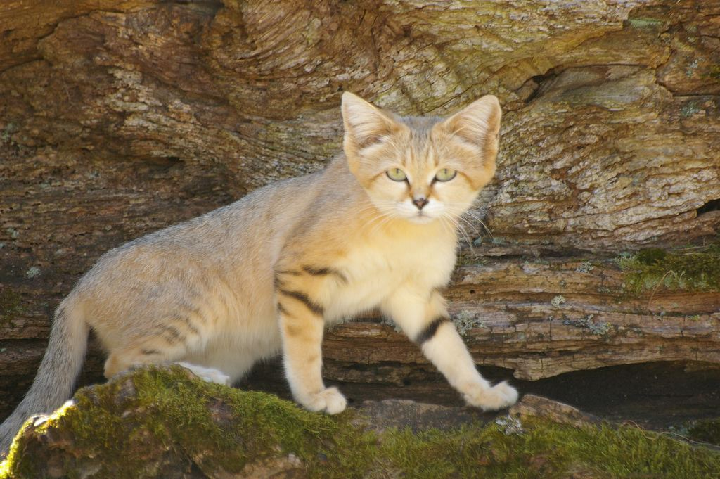 Песчаная кошка 11