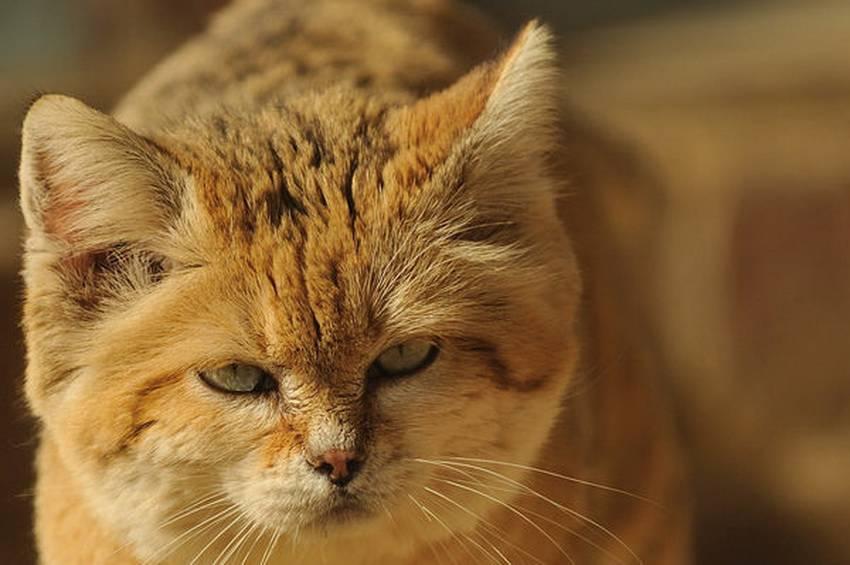Песчаная кошка 22